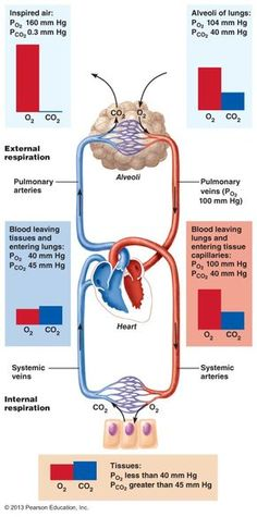 Gasses travel down their pressure gradients. PCO2 is lower in the alveolar air than in the blood arriving at the alveolus and therefore carbon dioxide diffuses from the blood into the alveoli. PO2 is higher in the alveolar air than in the blood arriving at the alveolus and therefore diffuses from the alveolar air into the blood. This also occurs with the systemic tissues.