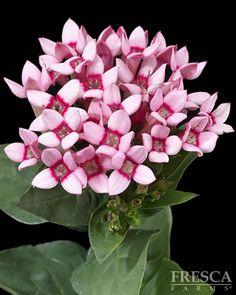 Pink Bouvardia