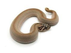 Super Anaconda morph Western Hognose Snake