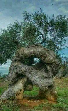 A stressed out tree?- A stressed out tree? A stressed out tree? Weird Trees, Magical Tree, Magical Forest, Twisted Tree, Tree Carving, Unique Trees, Fig Tree, Tree Tree, Tree Leaves
