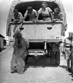 Wojtek (1942–1963) was a Syrian brown bear cub found in Iran and ...