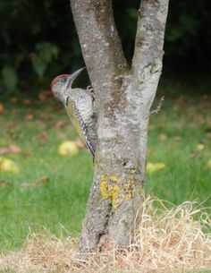 Young Green Woodpecker making a dent in a neighbouring tree.