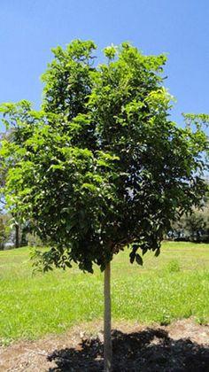 Small leaved Tamarind tree. Australian Native. 8-12m