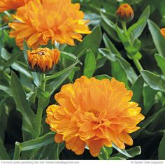 It's possible to have bright flowers in cool weather with these plants. [Pot marigold Calendula officinalis]