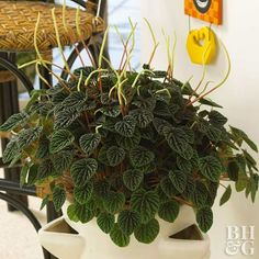 This is one of the easiest houseplants to grow.