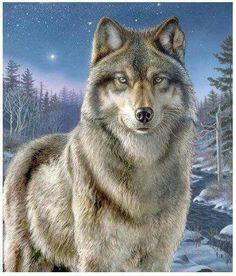 Le loup grisj