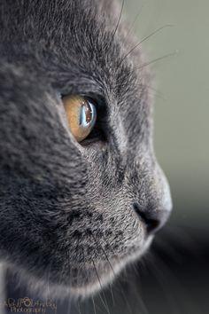 Those Eyes ~ I ♥ grey cats