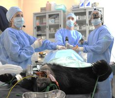 Gallbladder surgery on a Moon Bear    To help the plight of the moon bears please go to Animals Asia Foundation: http://www.animalsasia.org/