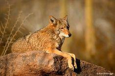 Coyote, Arizona-Sonora Desert Museum, Tucson, Arizona