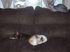 My hairless cat Yoda and my chihuahuas Brandy and Whiskey