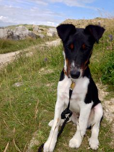 Smooth Fox terrier at Old Portland Stone Quarry in Dorset