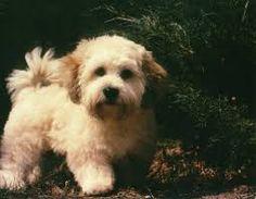 Image result for bichon poodles