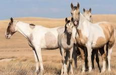 Rescue group helps save horses, history | American Wild Horse Preservation Campaign