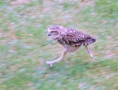 Imperial Pheasant - Bing Images