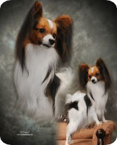 This is Diego, from the Esprit Papillon Kennel.