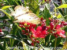 Jatropha-butterfly friendly