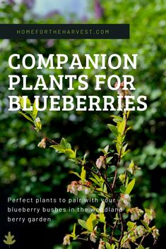 Blueberry bushes not only provide delicious fruit, but also add a lovely whimsical element the garden. While blueberries can be a bit particular about their… Planting Blueberry Bushes, Blueberry Plant, Fruit Garden, Edible Garden, Veggie Gardens, Veg Garden, Vegetable Gardening, Companion Gardening, Gardens