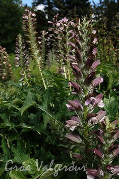 Acanthus spinosus - Spiny bear's breeches