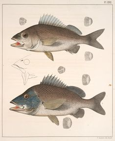 Fig. 1. Hæmulon Chrysopteron (Margate-fish, Perca chrysoptera; Red-mouth Grunt, vgl.); Fig. 2. Hæmulon Arcuatum (Black Grunt). From New York Public Library Digital Collections.