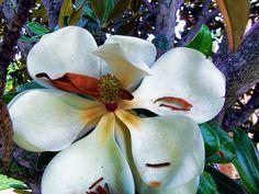 Arty Magnolia