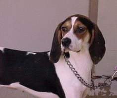 #VIRGINIA #URGENT ~ Martina is a Spayed 9mos Treeing Walker Coonhound -  I LOVE other dogs, I can even eat with them. I'm an active girl but so sweet, I love to run & play in the big fenced yard. I have no interest in hunting, still young & in need of a loving #adopter / #rescue at the ROCKBRIDGE SPCA 10 Animal Pl  #Lexington VA 24450 rockbridgespca@rockbridge.net or houndlady1@comcast.net Ph 540-463-5123