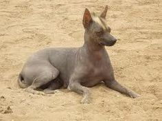The Peruvian hairless dog appears in Peru about the year 300 BC. Some pre-Inca cultures such as Chavin, Salinar, Vicus, Mochica, Sicán, Chimu and Chancay perennizaron this species in their myths, legends, ceramics, sculptures, textiles, handicrafts and many other art forms.    Time of the Incas, the Peruvian hairless dog participated in ceremonies to worship the moon god, and rarely was sacrificed, except in exceptional cases.