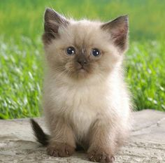 Adorable Ragdoll Kitten - November 2015 - We Love Cats and Kittens , . Adorable Ragdoll Kitten - November 2015 - We Love Cats and Kittens , Cute Kittens, Siamese Kittens, Kittens And Puppies, Ragdoll Cats, Bengal Cats, Siberian Kittens, Funny Puppies, Persian Kittens, Funny Pugs