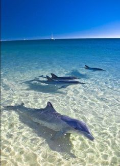 Dolphins at Monkey Mia, Australia. on my bucket list. Swim with the dolphins here Orcas, Beautiful Creatures, Animals Beautiful, Beautiful Babies, Beautiful World, Beautiful Places, Vida Animal, Wale, Delphine