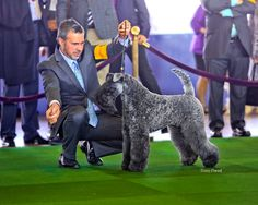 "CH Northbound Arctic Rock ""Anton"" competing at 2015 Westminster Kennel Club Dog Show"