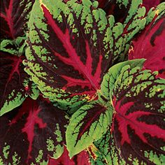 How to grow coleus. Annual, plant seeds 10 weeks before last frost. Part to full shade once planted outside.
