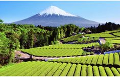 japanese tea garden plantation field near mount fuji Obuchi Shizuoka Japan