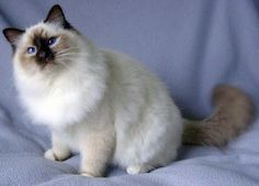 10 Daring Cool Tricks: Cat Girl Comic norwegian forest cat home. Siamese Cats, Cats And Kittens, Birman Cats For Sale, Persian Cats For Sale, All Cat Breeds, Cat Pose, Norwegian Forest Cat, Cat Accessories, Cat Colors