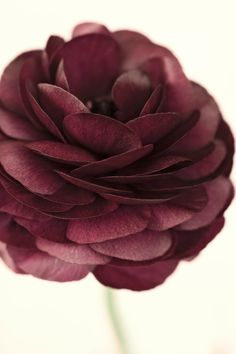Dark red ranculus photographed by Nic Miller | Surface View