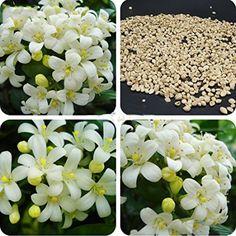 Best Garden Seeds New Murraya Paniculata Orange Jessamine Evergreen Plant, 5 Seeds, satinwood lakeview jasmine white fragrant flowers