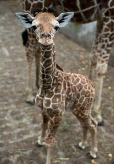 One-week-old Giraffe baby.