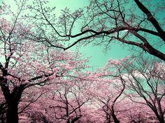 Sakura Trees in Yoyogi Park, Tokyo, Japan
