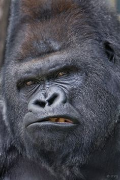 This gorilla wears a less-than-complimentary, almost human expression. Photo by Olga Gladysheva---this needs to be made into 'grumpy gorilla' meme. Angry Animals, Animals And Pets, Funny Animals, Cute Animals, Smiling Animals, Wild Animals, Baby Animals, Primates, Mammals