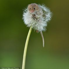 Mouse on a dandelion, England, UK. The mouse is Europe's smallest rodent, at about 6cm long and weighs less than a 2p coin