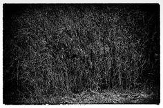Buy Bush small size, Photograph by Attila Simon on Artfinder. Fine Art, Black And White, Landscape, Photos, Photography, Attila, Blanco Y Negro, Pictures, Photograph