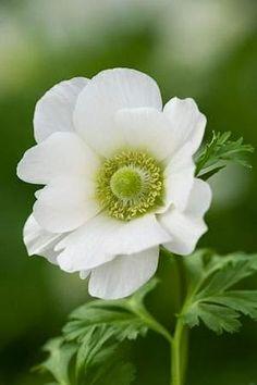 White anemone