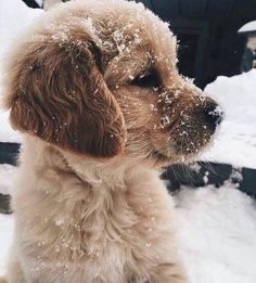 Golden Retriever Puppies Golden Retriever puppy playing in the snow Cute Funny Animals, Cute Baby Animals, Animals And Pets, Animals In Snow, Fluffy Animals, Happy Animals, Cute Dogs And Puppies, I Love Dogs, Doggies