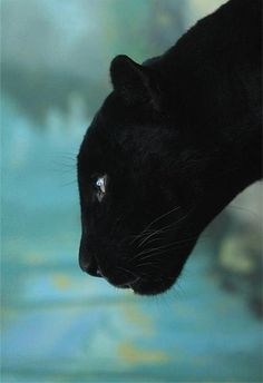 black panther, here kitty kitty kitty! Crazy Cats, Big Cats, Cats And Kittens, Siamese Cats, Beautiful Cats, Animals Beautiful, Simply Beautiful, Animals And Pets, Cute Animals