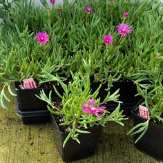 4. Ice Plant (Delosperma cooperi) Native to South Africa  Where it will grow: Hardy to minus 20 degrees Fahrenheit, or minus 28.9 degrees Celsius (Zone 5) Light requirement: Full sun; afternoon shade or light, filtered shade in low-desert zones Mature size: 3 to 6 inches tall and 2 feet wide