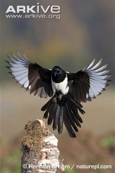 Magpie photo - Pica pica - A23480 | ARKive