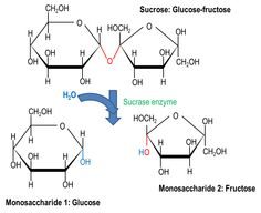 Molecular image showing the hydrolysis breakdown of a carbohydrate (Sucrose) into 2 monosachharides (Glucose and Fructose).