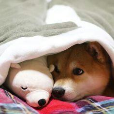 """柴犬, Shiba Inu <3 ~lisa """"Good night. 一緒に寝よっ。やわらかいシロクマ""""(c)"""