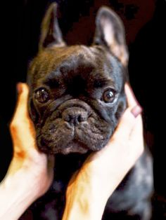 French Bulldog, what a Sweet Face ❤