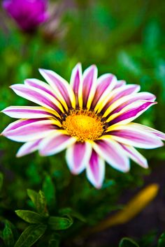 Anza Borrego desert flower
