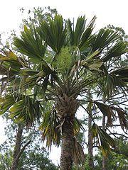 Sabal (Lisa) Palmetto Hybrid Cabbage Palm Tree