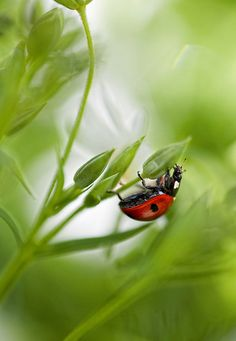 lady bug climbs up leaf Beautiful Creatures, Animals Beautiful, Cute Animals, Funny Animals, Lady Bug, A Bug's Life, Lucky Ladies, Bugs And Insects, Love Bugs